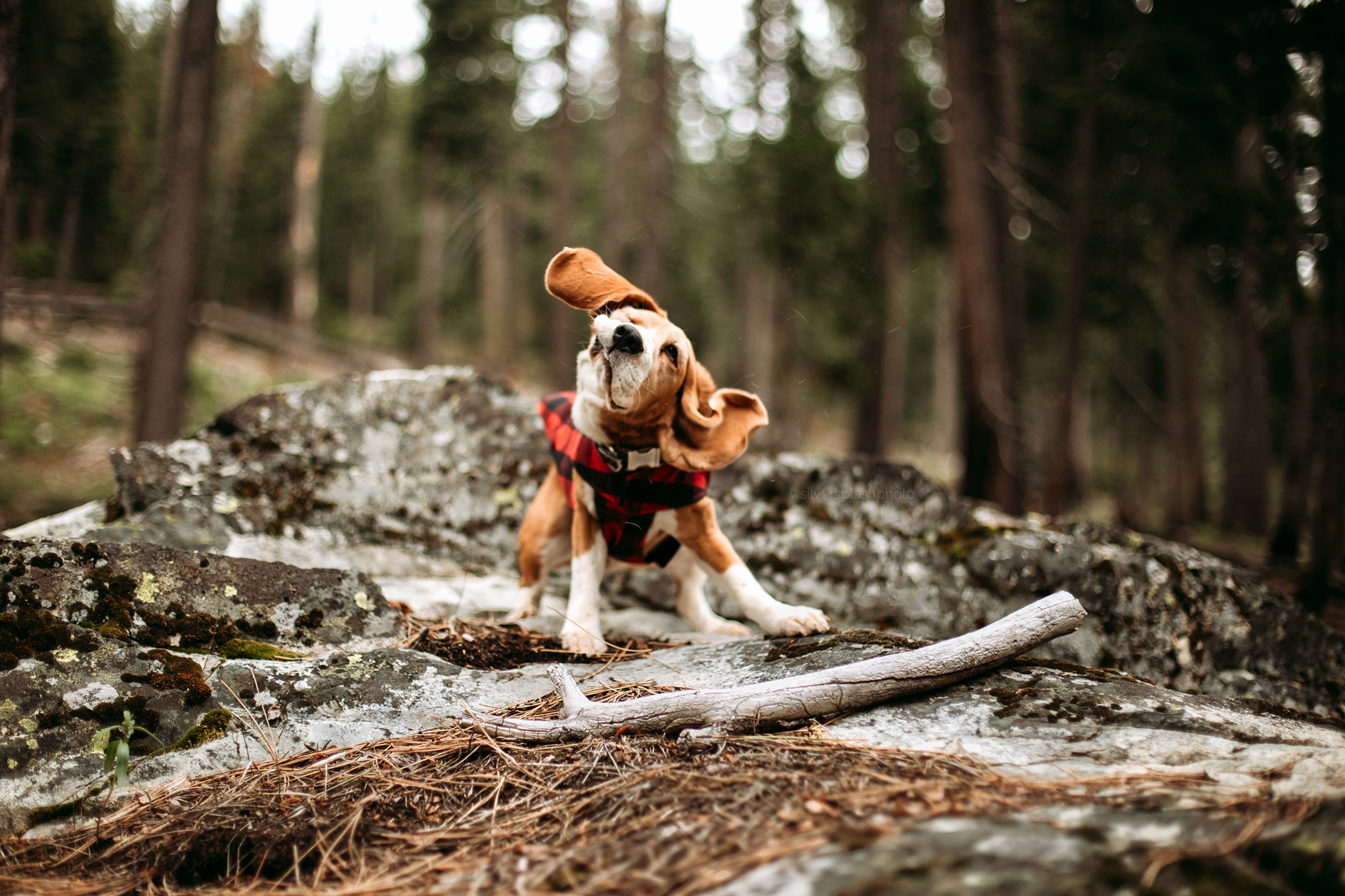 Commercial-beagle-photography.jpg