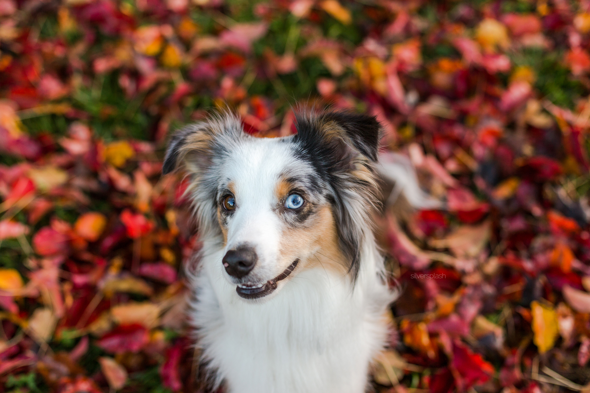 SilverSplashPhoto-fall-photo-shoot-dog-photography-wm.jpg