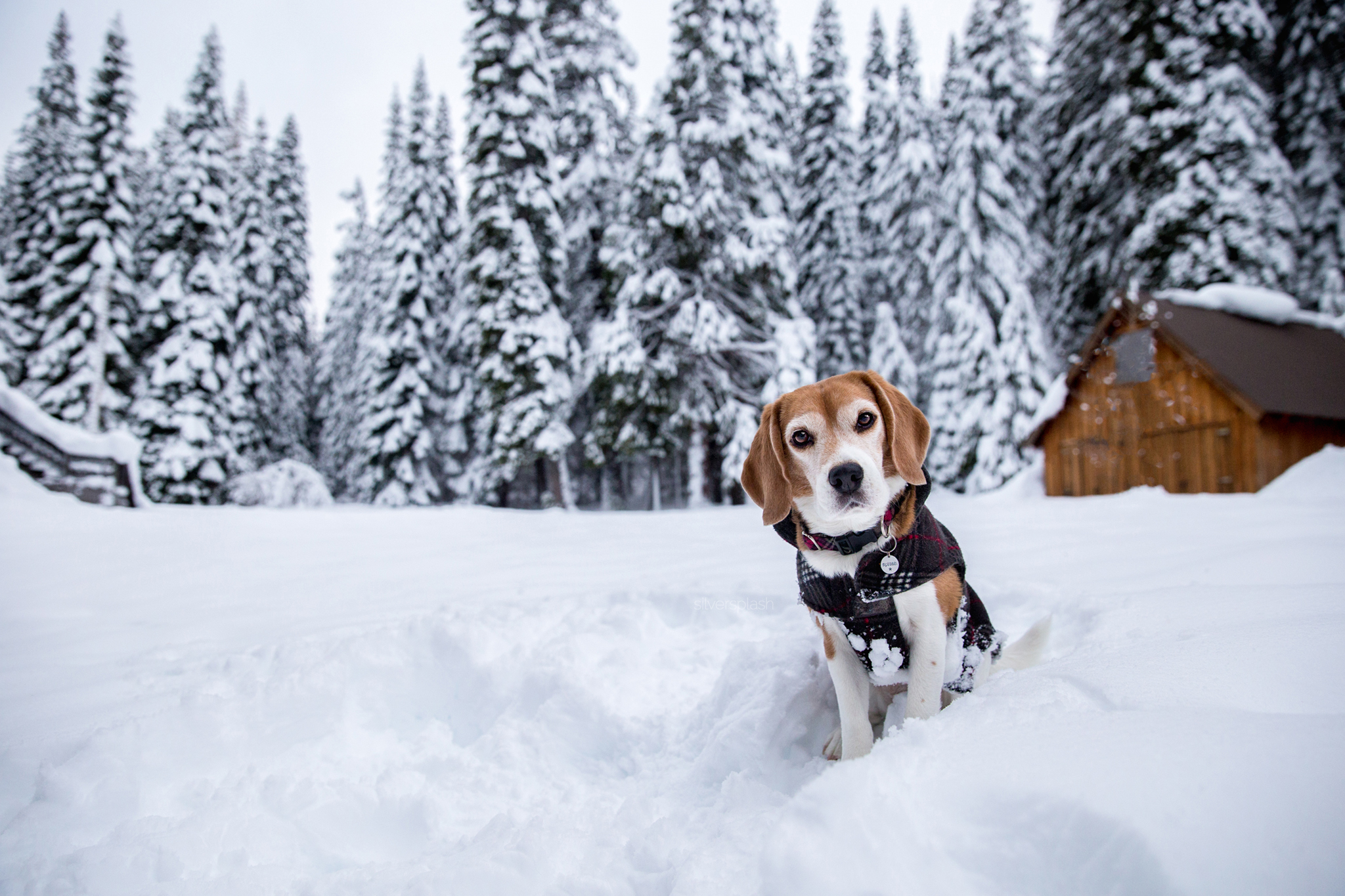Snow-beagle-graeagle-wm.jpg