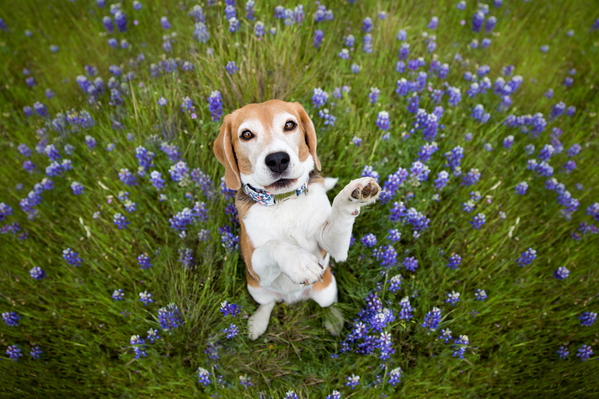 novoto-pet-photographer-beagle-wm.jpg
