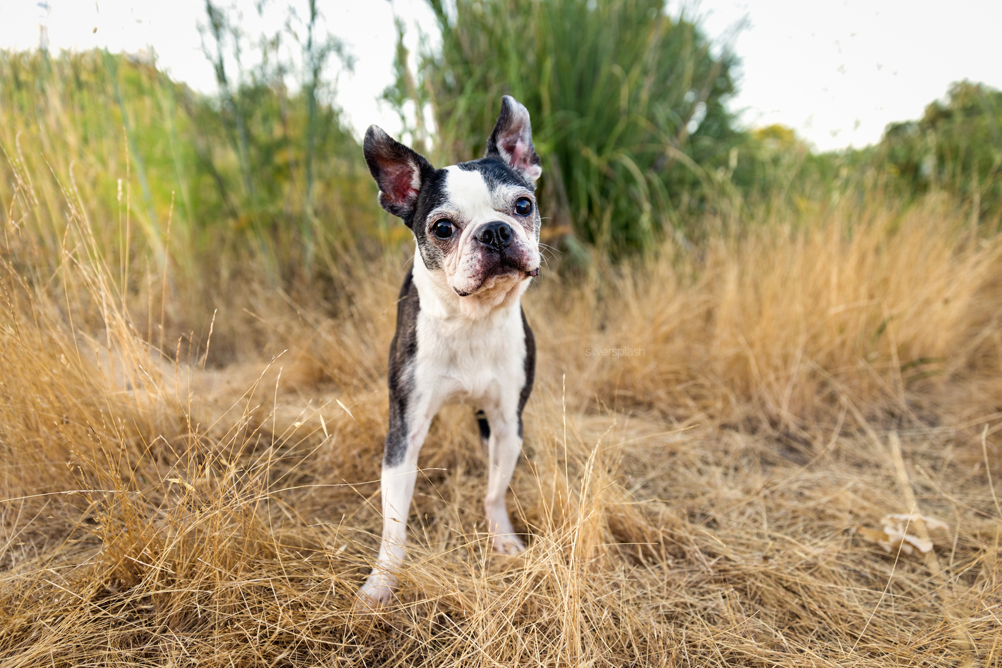 boston-terrier-dog-photographer.jpg