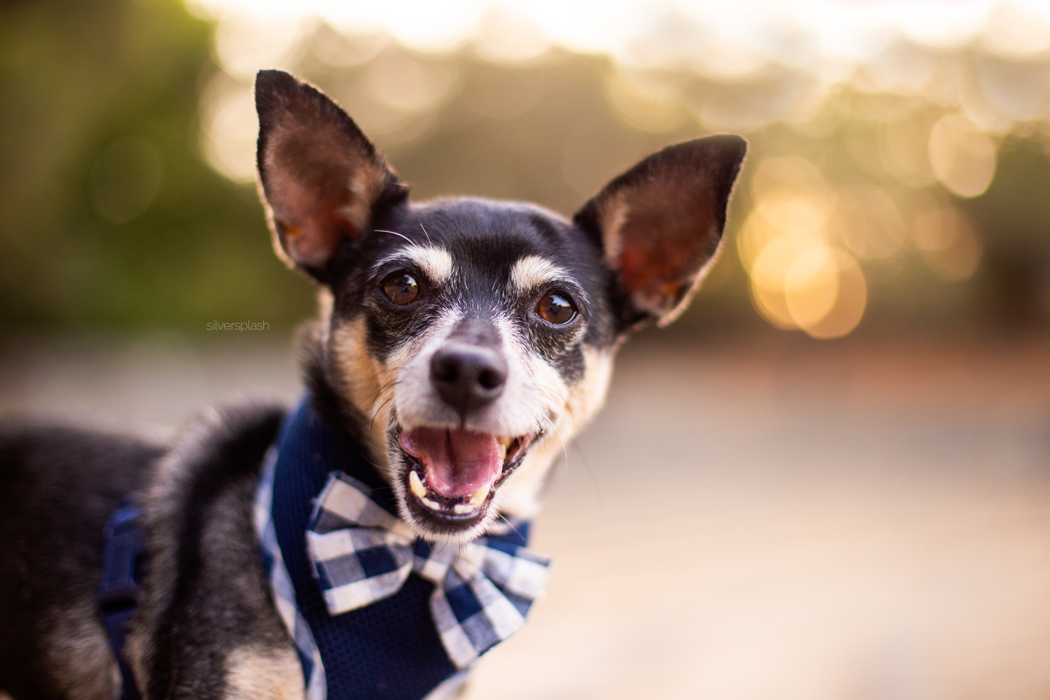 happy-chihuahua-dog-silver-splash-photography.jpg