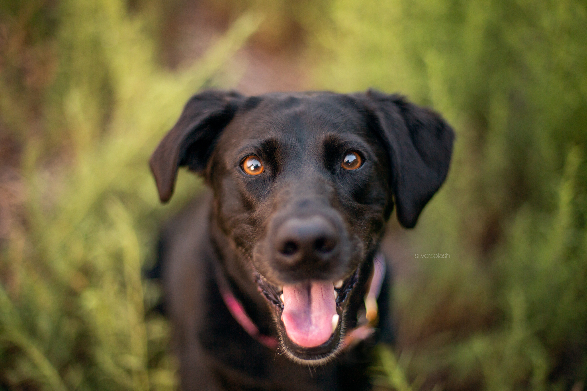 silver-splash-photo-happy-black-lab.jpg