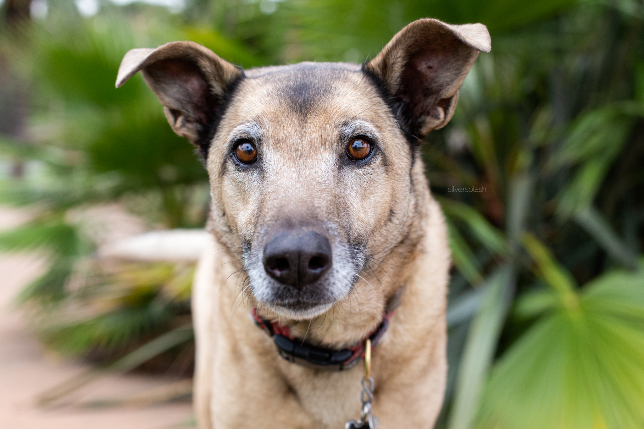 silver-splash-photo-shepherd-mix.jpg