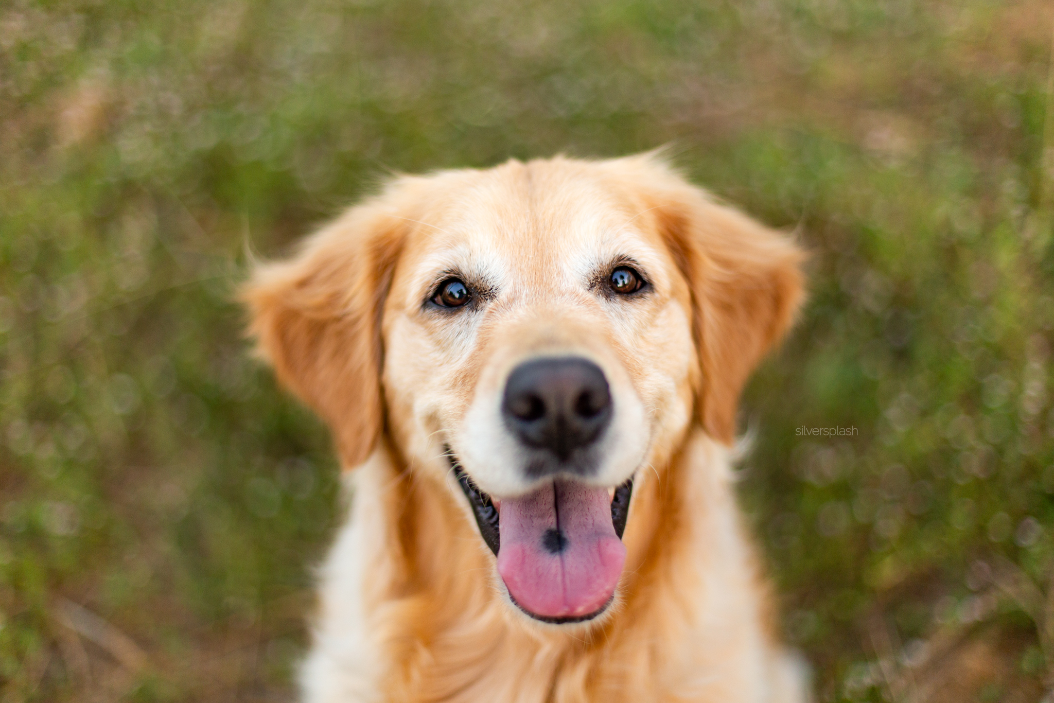 silver-splash-photo-happy-golden-retriever-dog-p.jpg