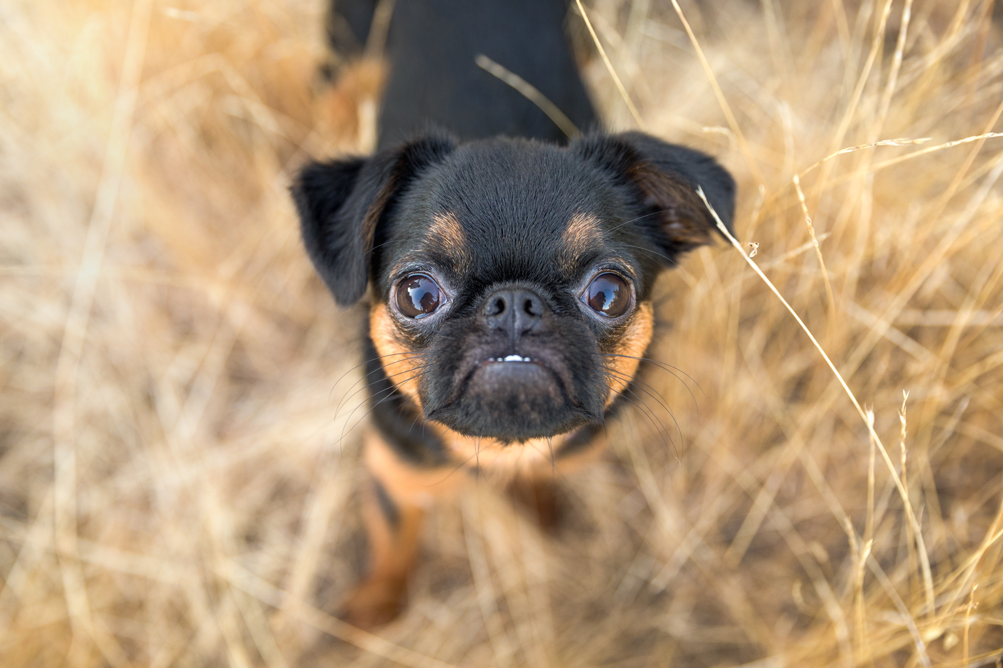 brussels-griffon-dog-photographer.jpg
