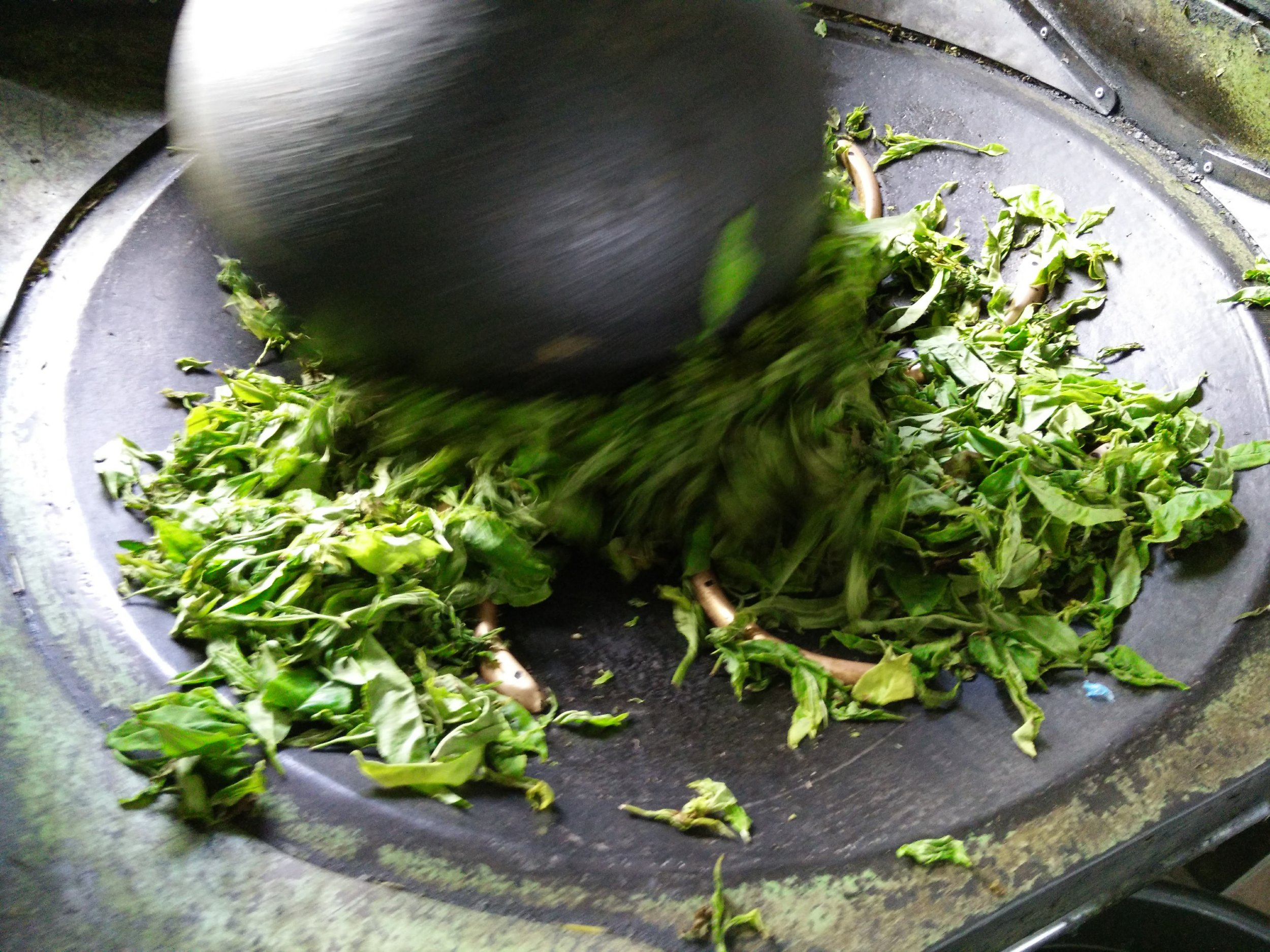 Step 3: Rolling of fresh tea leaves