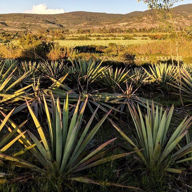 Isn't agave amazing?! We are so in love with the #agave photographs our team has taken during their trip to #oaxaca. ♥️  Celebrate all that is great about #mezcal with us through the weekend for #mezcalweek 💥  📸: @kipmoffitt