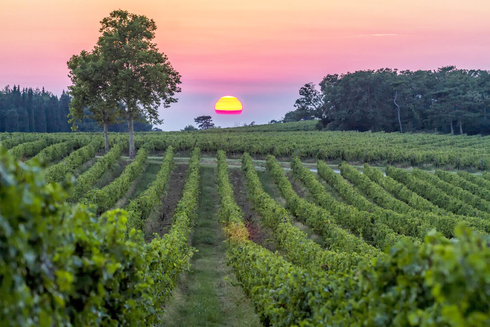 vineyard-vinakoper-sunset.jpg