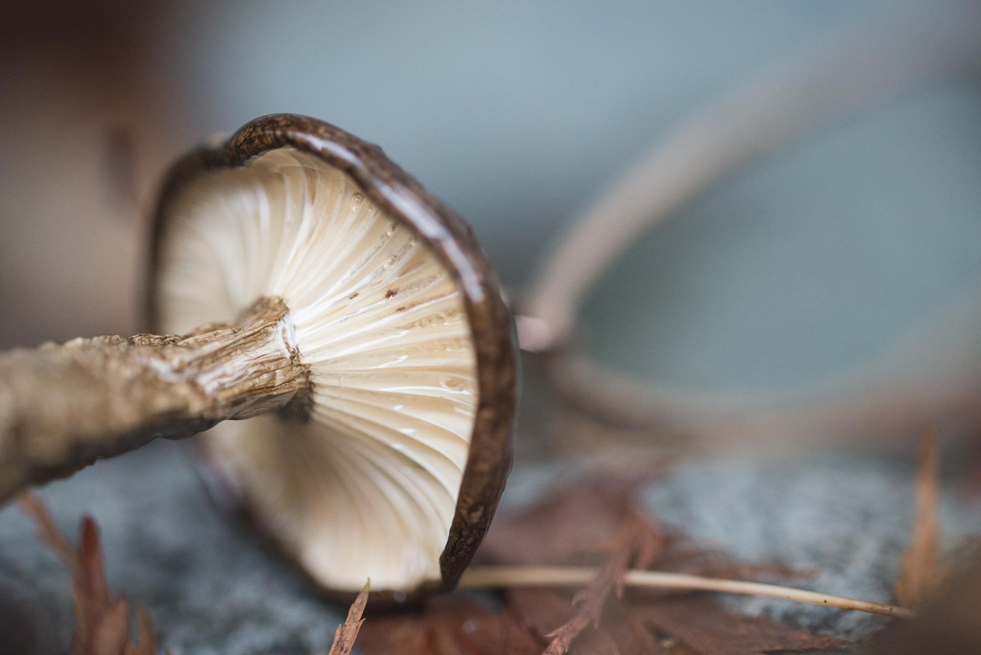 Lactarius pseudomucidus