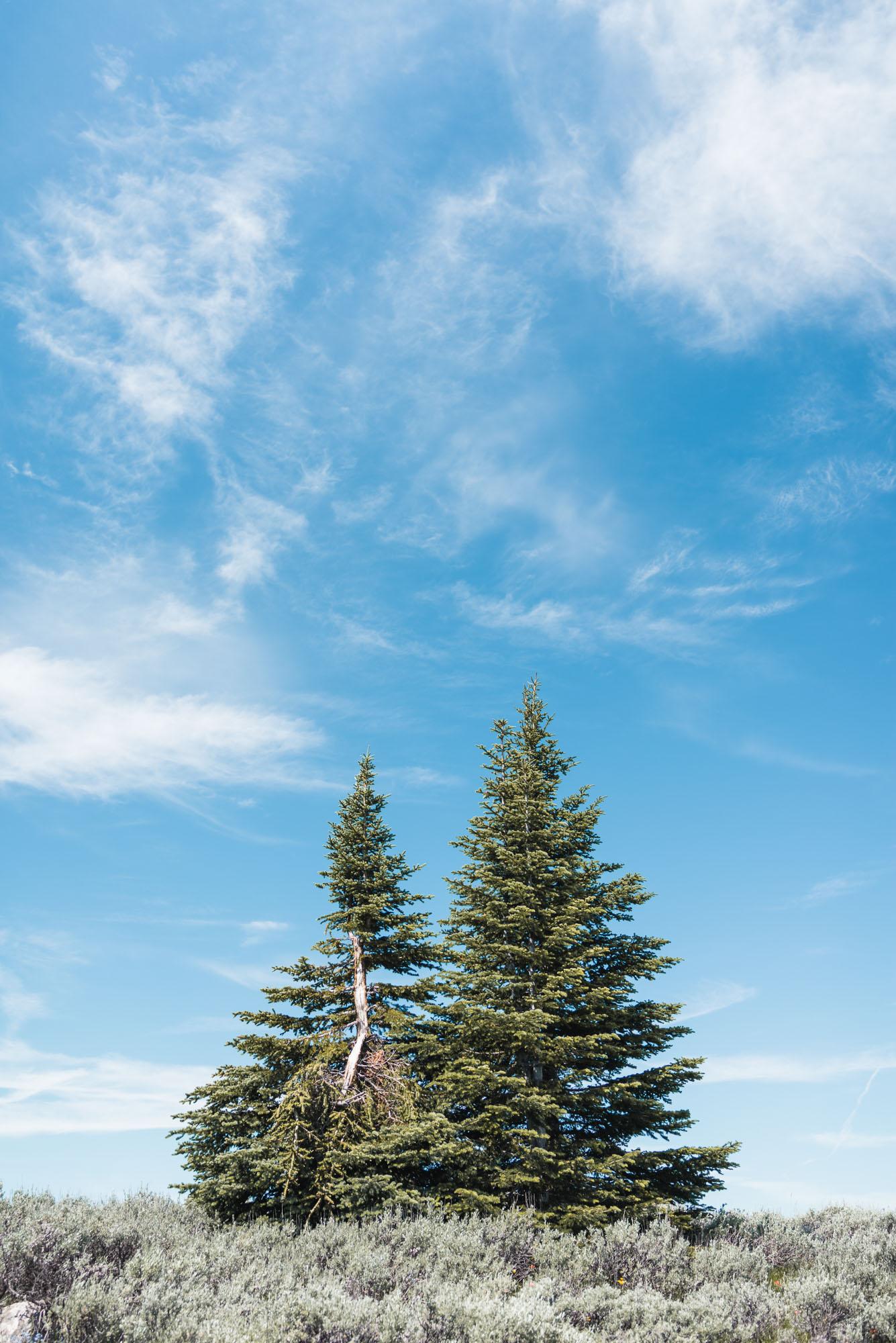 Mount Kobau landscape trees