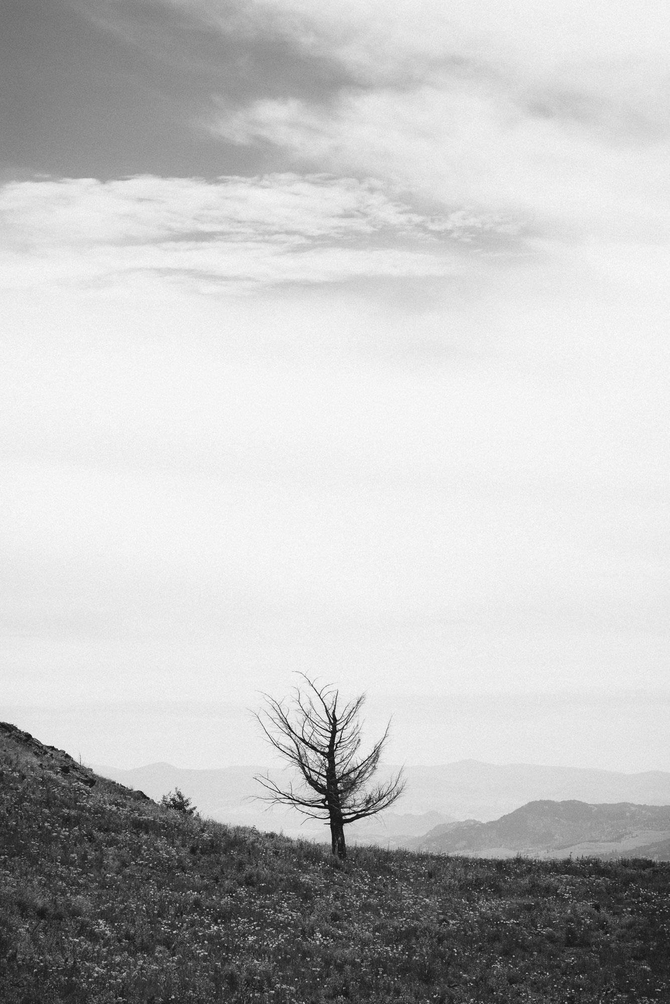 Mount Kobau landscape single tree
