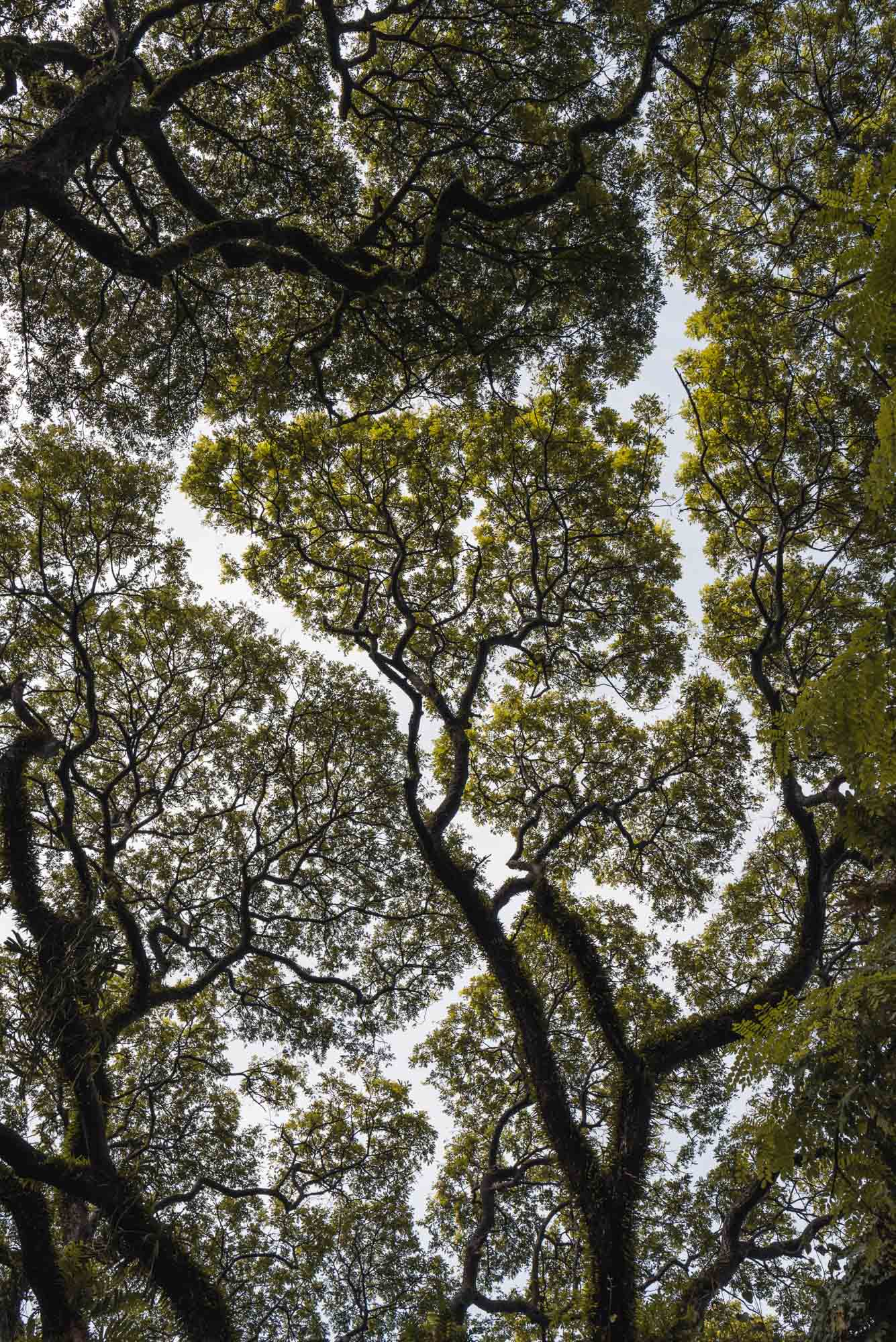 Tree canopy in Fort Kochi