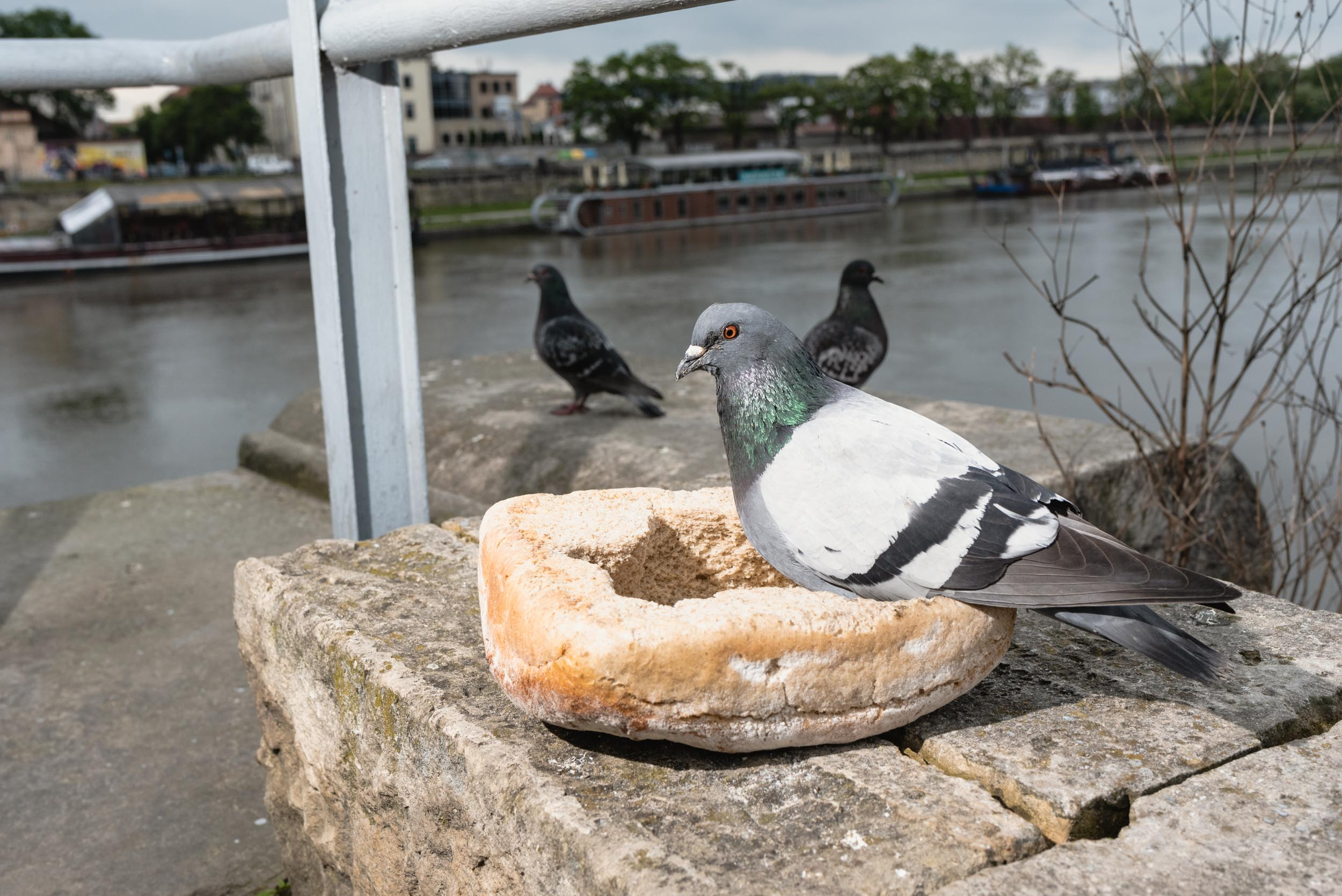 Pigeon sitting in bread bowl