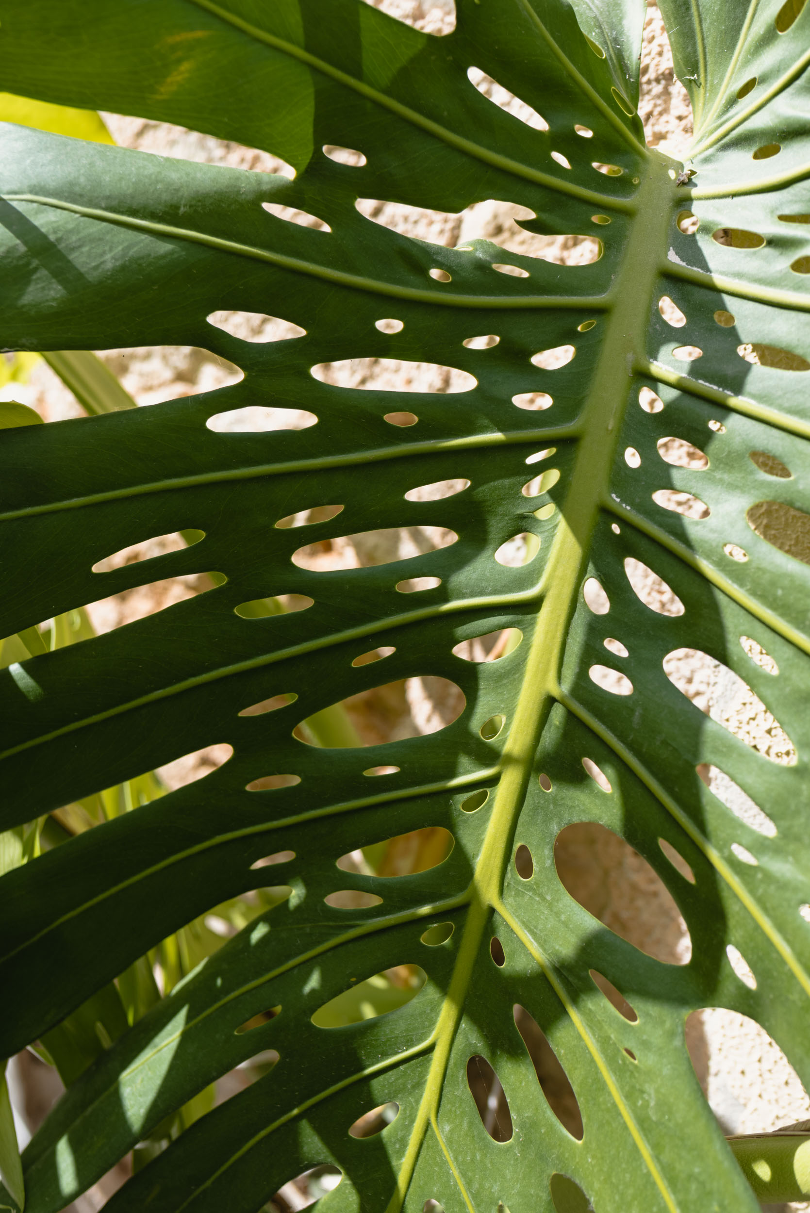 Monstera deliciosa detail