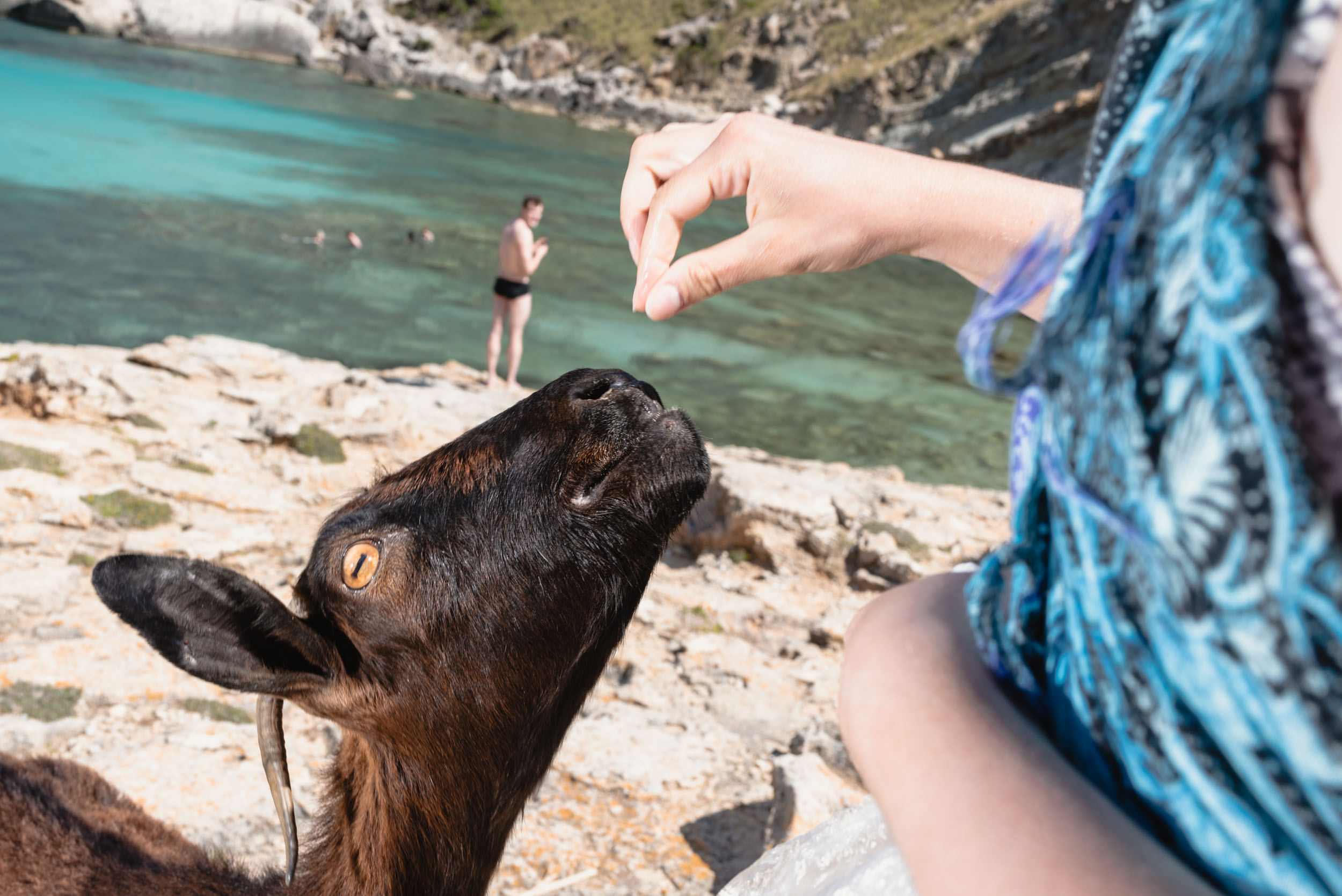 Feeding goat at Cala Figuera