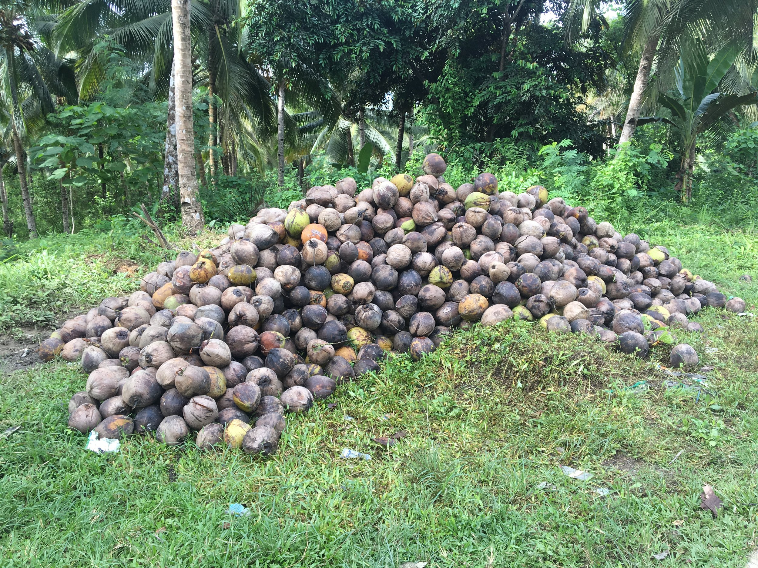 Whole coconuts ready to be delivered to CocoAsenso directly from the farmer.