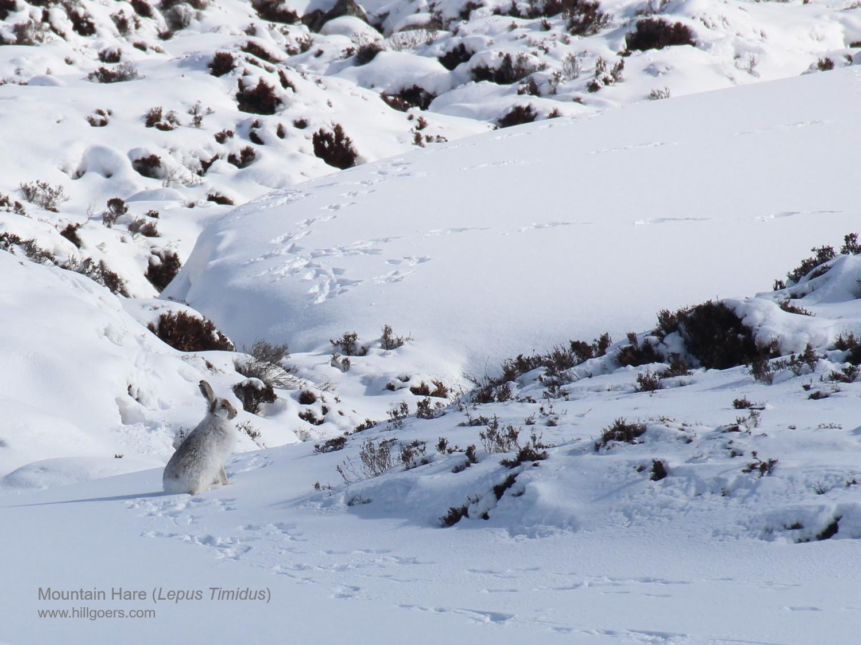 Winter Mountain Hare