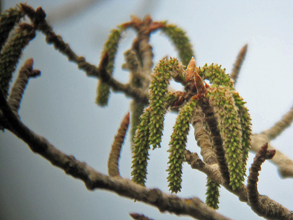 The Aspen Tree. The flower essence made from these catkins is Dr. Bach's prescription for generalized anxiety.