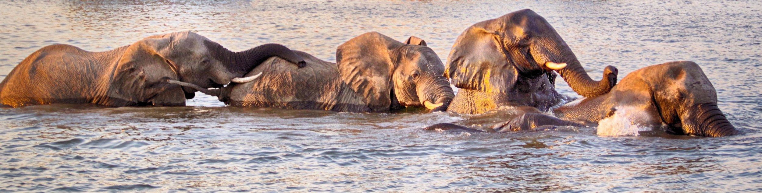 Elephants in the Zambezi.jpeg