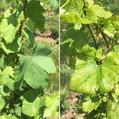 Healthy Chardonnay leaves are shown on the left; on the right note the curled edges and differences in color and lobulation that could be the result of triclopyr exposure.