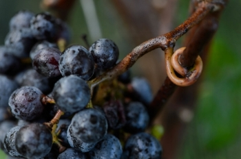 Merlot grapes on the vine.