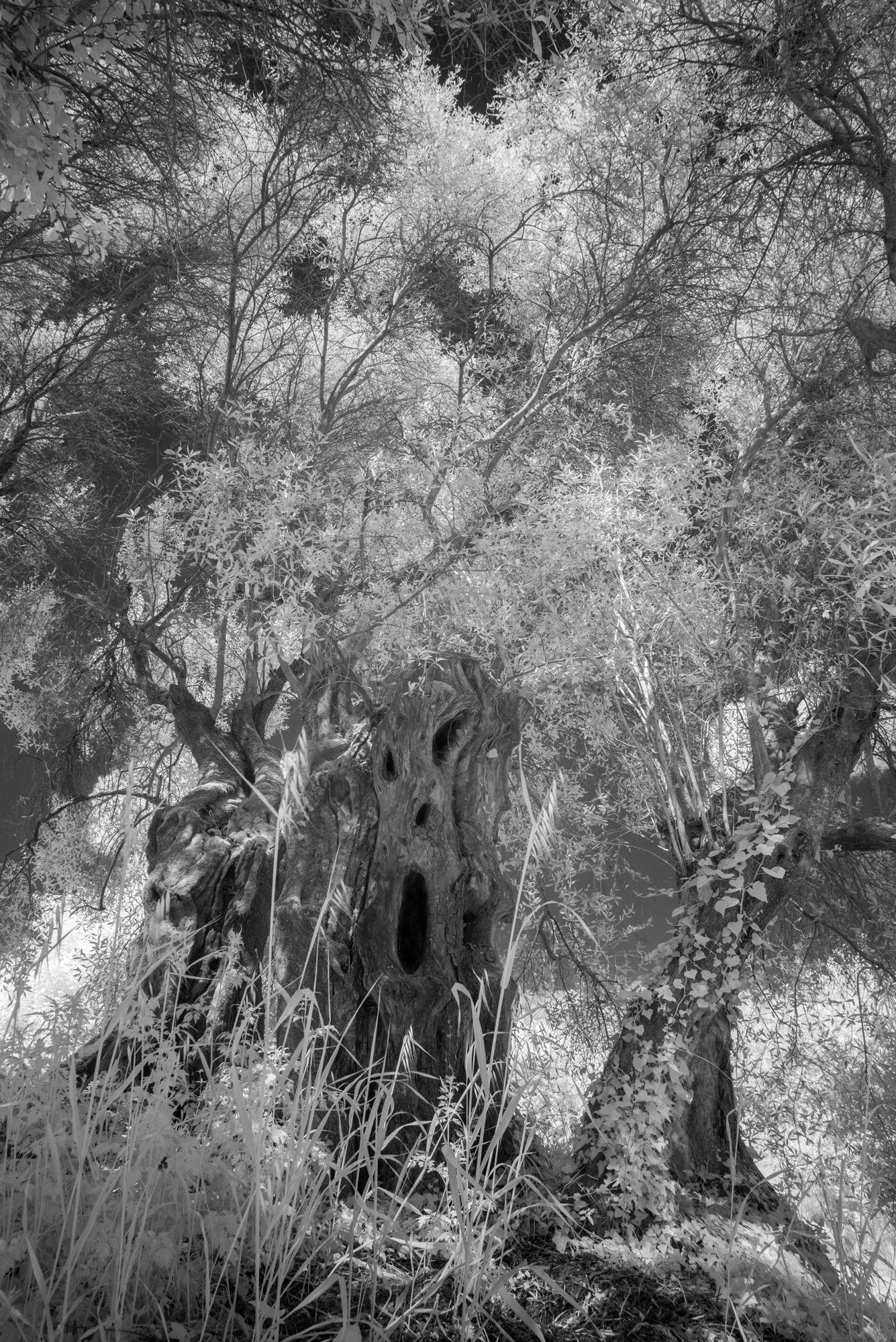 olive grove scream, Italy