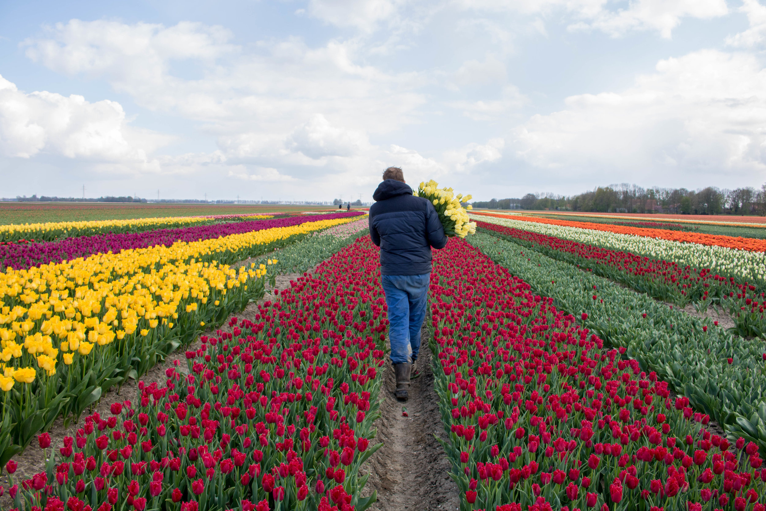 bloomon Rebel Yellow Tulip Field-9048.jpg