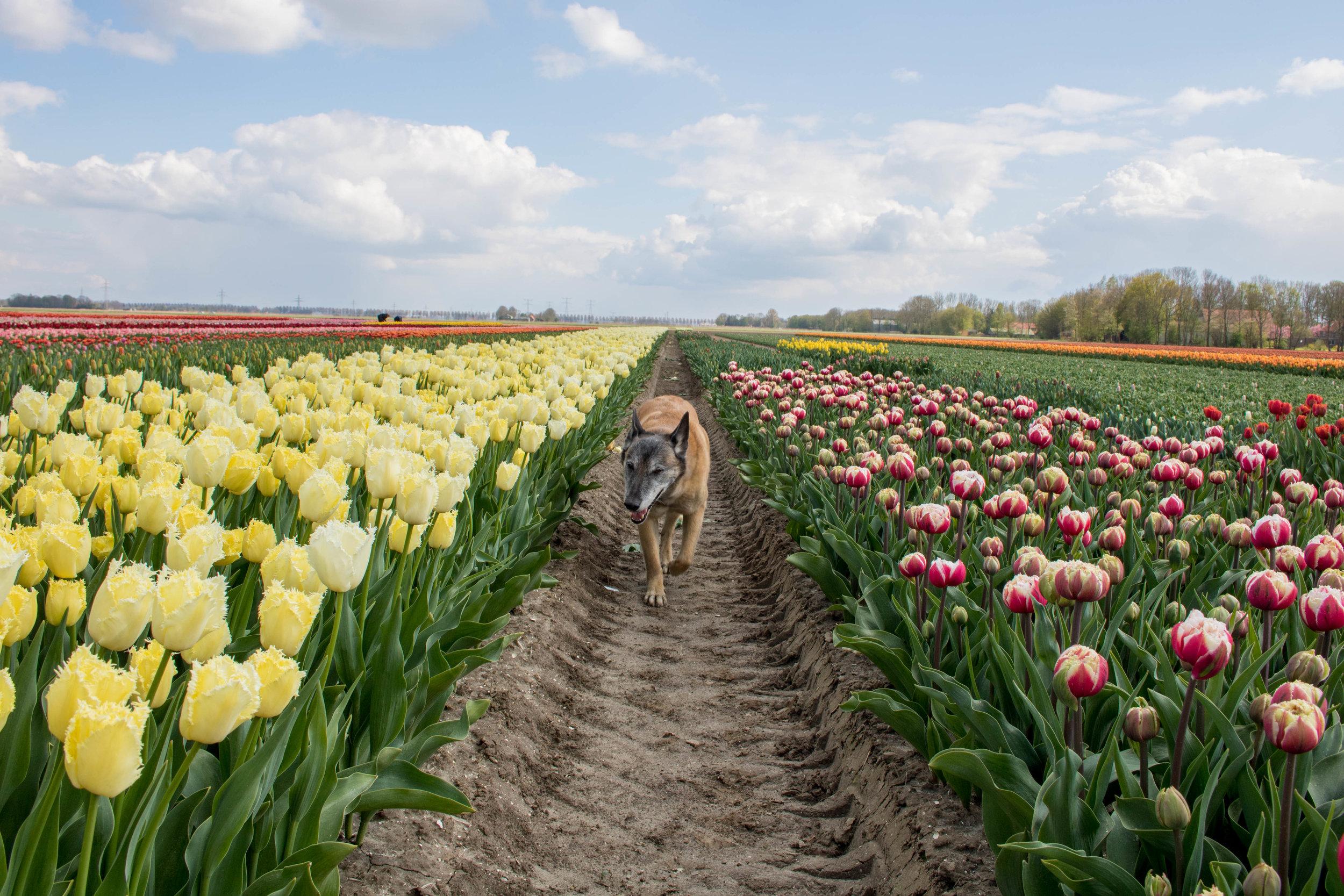 bloomon Rebel Yellow Tulip Field-9108.jpg