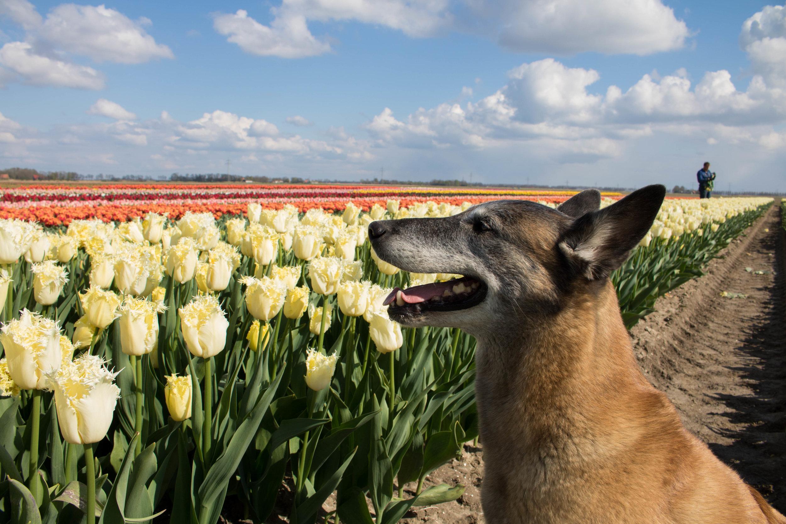 bloomon Rebel Yellow Tulip Field-9234.jpg