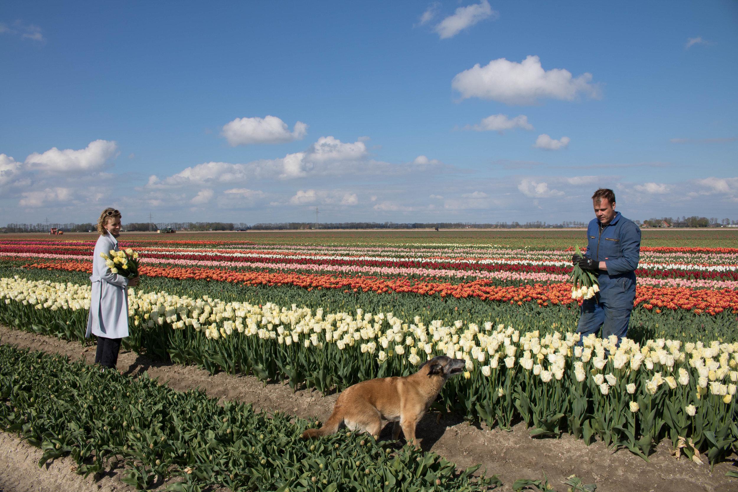bloomon Rebel Yellow Tulip Field-9256.jpg
