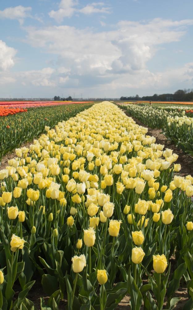 bloomon Rebel Yellow Tulip Field-9071.jpg