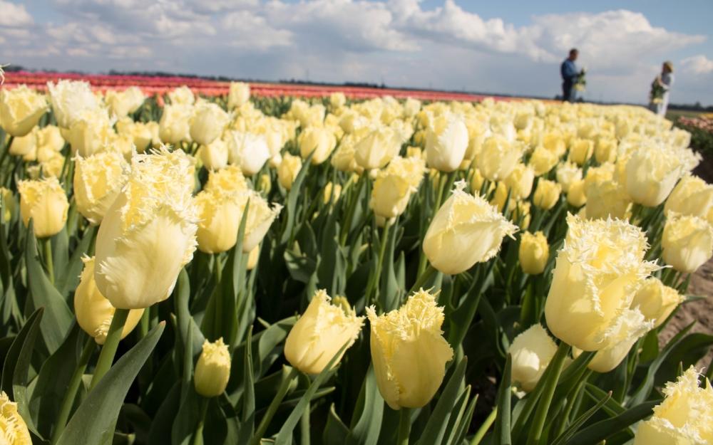 bloomon Rebel Yellow Tulip Field-9133.jpg