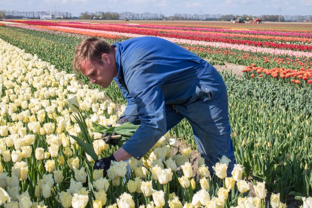 bloomon Rebel Yellow Tulip Field-9205.jpg