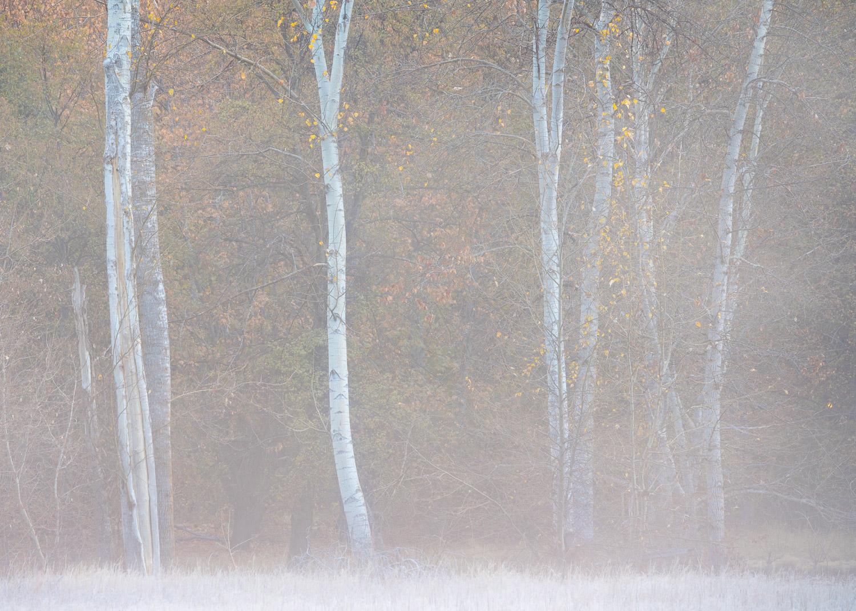 Morning Fog and Cottonwoods III