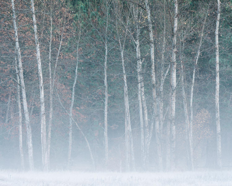 Morning Fog and Cottonwoods I