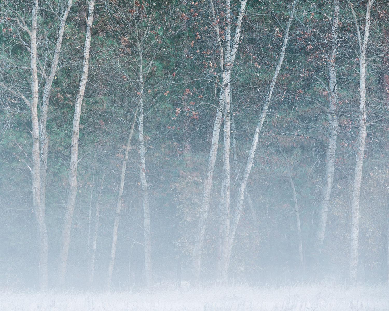 Morning Fog and Cottonwoods II