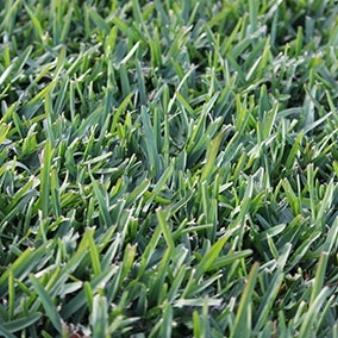 sir-walter-grass.jpg