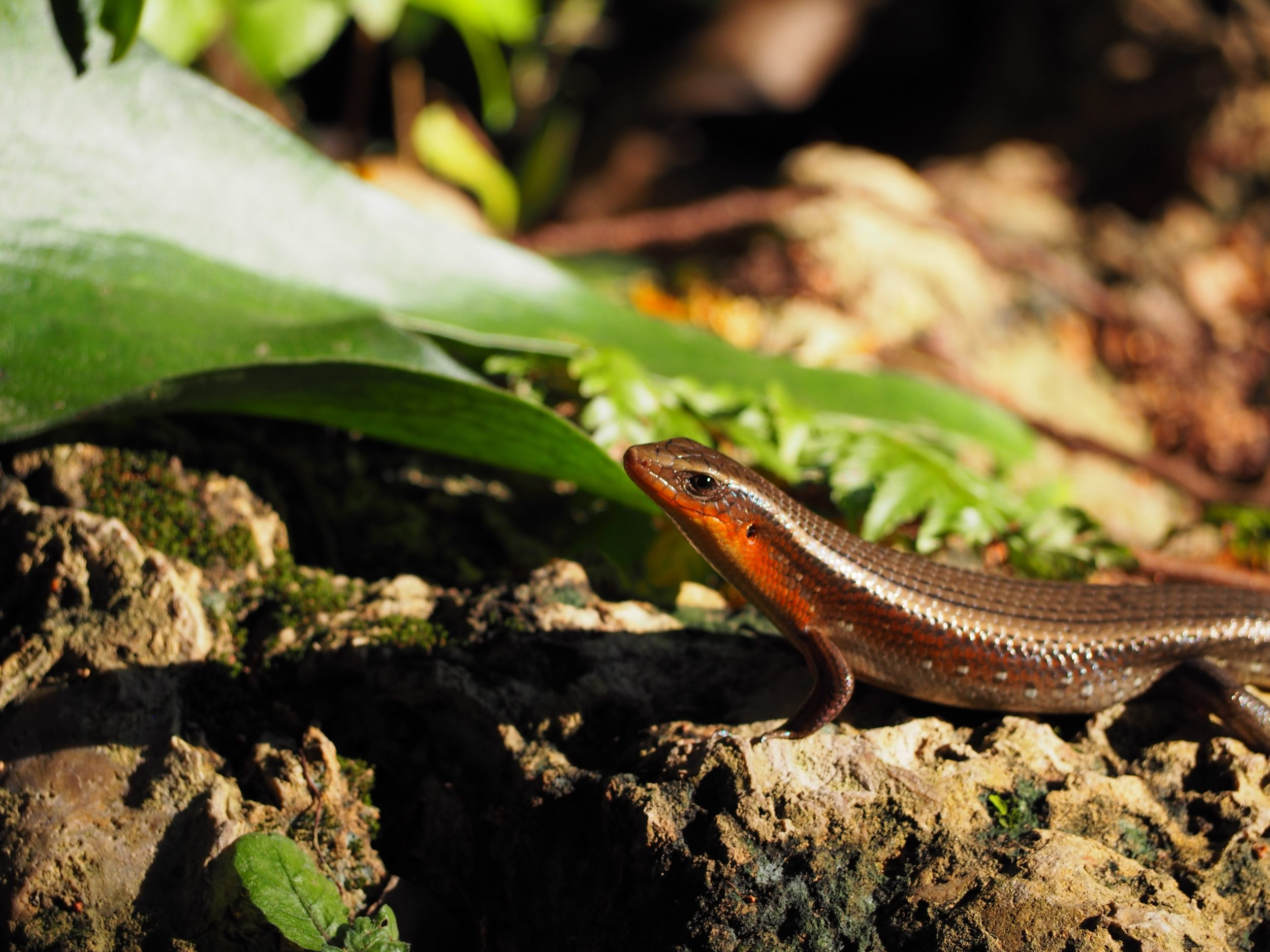Geckos are ubiquitous in South East Asia