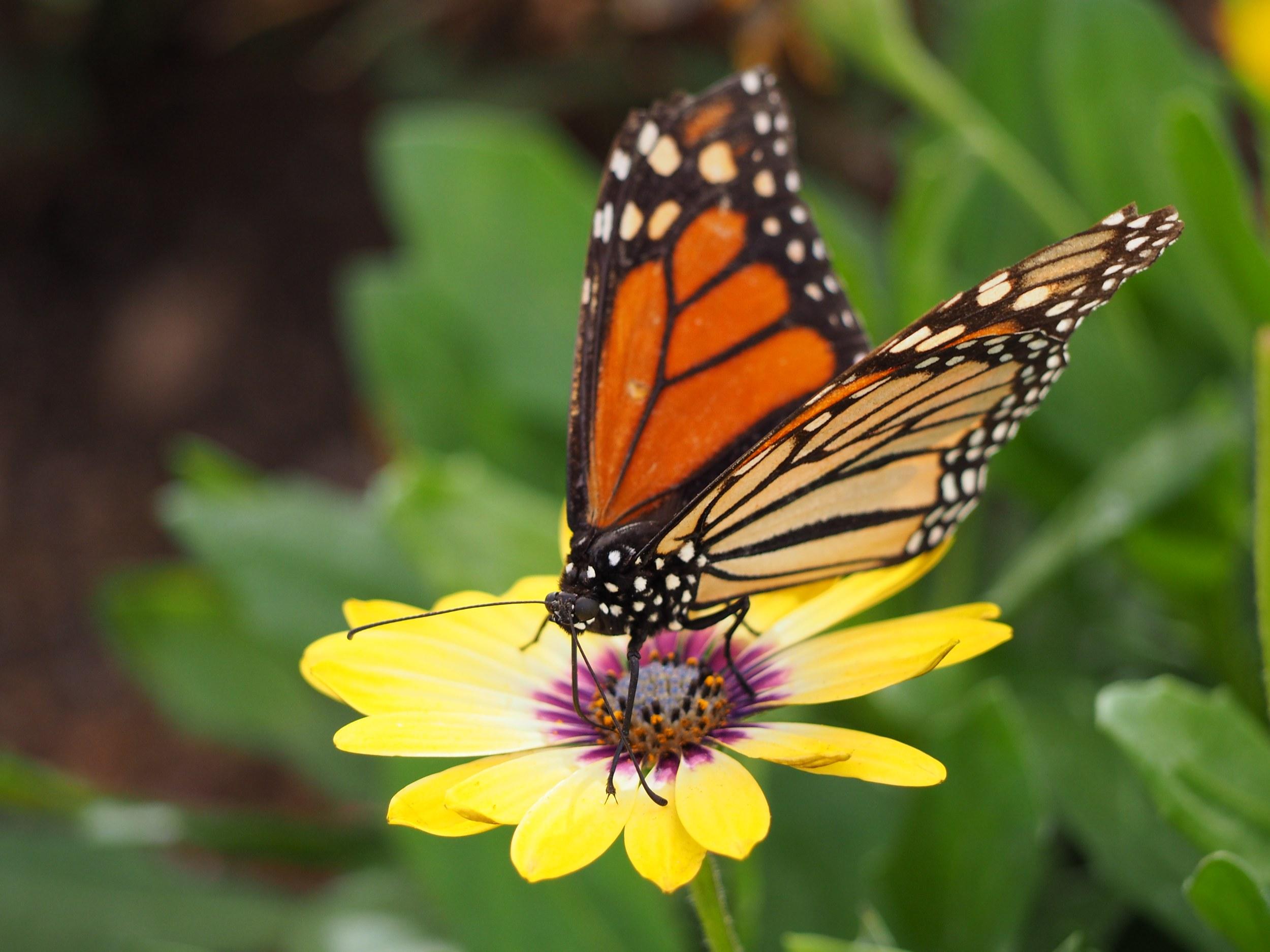 Butterfly in the Sonoran Desert