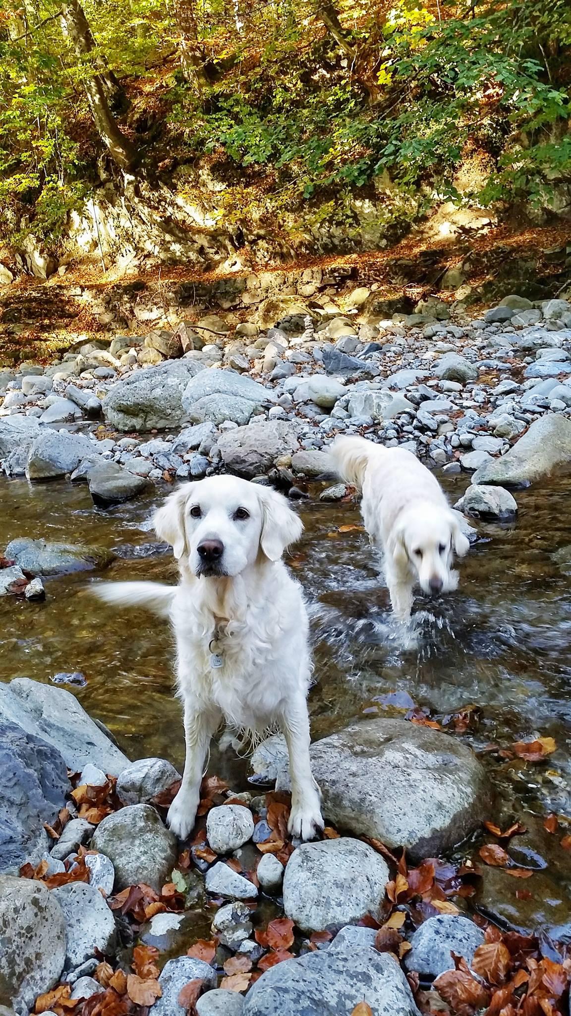 Golden Retriever Kimba & Filou
