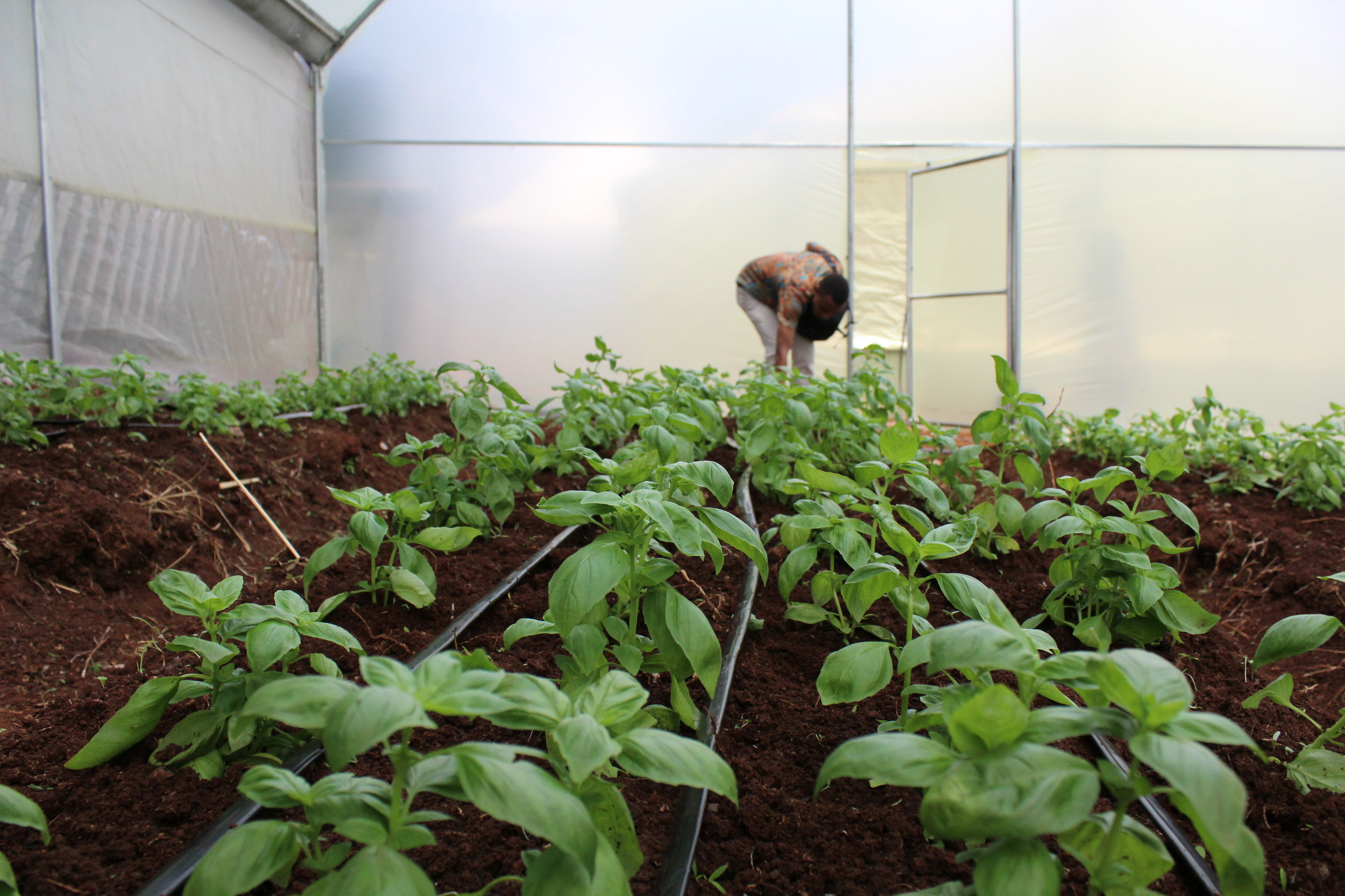 A farmer inspecting her vegetables in a greenhouse installed by Illuminum Greenhouses