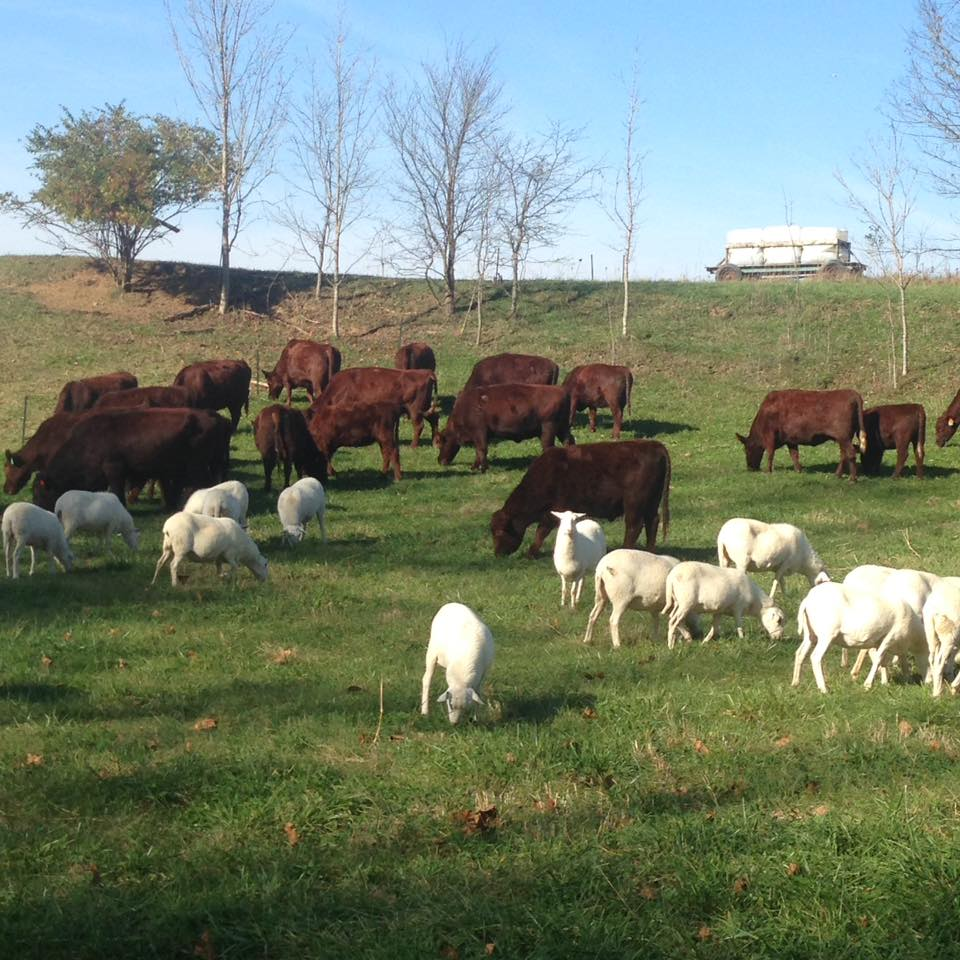Local Lamb Farm for CSA Share