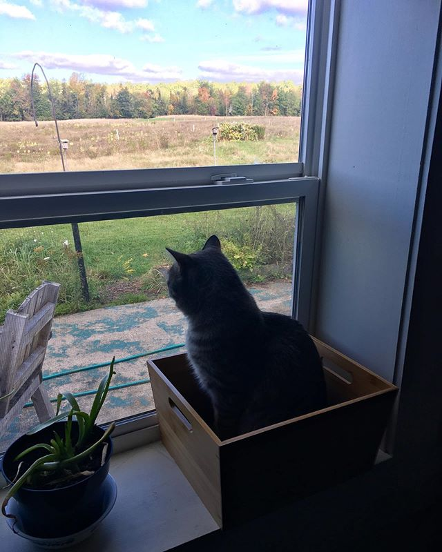 Willow set this box there to PREVENT Basil from hopping onto the windowsill.  #cats #catsofinstagram #outsmarted #catsinboxes #thanksmom #greatview #maine #farmlife #mainefarms #goodplan #idowhatiwant #catlife