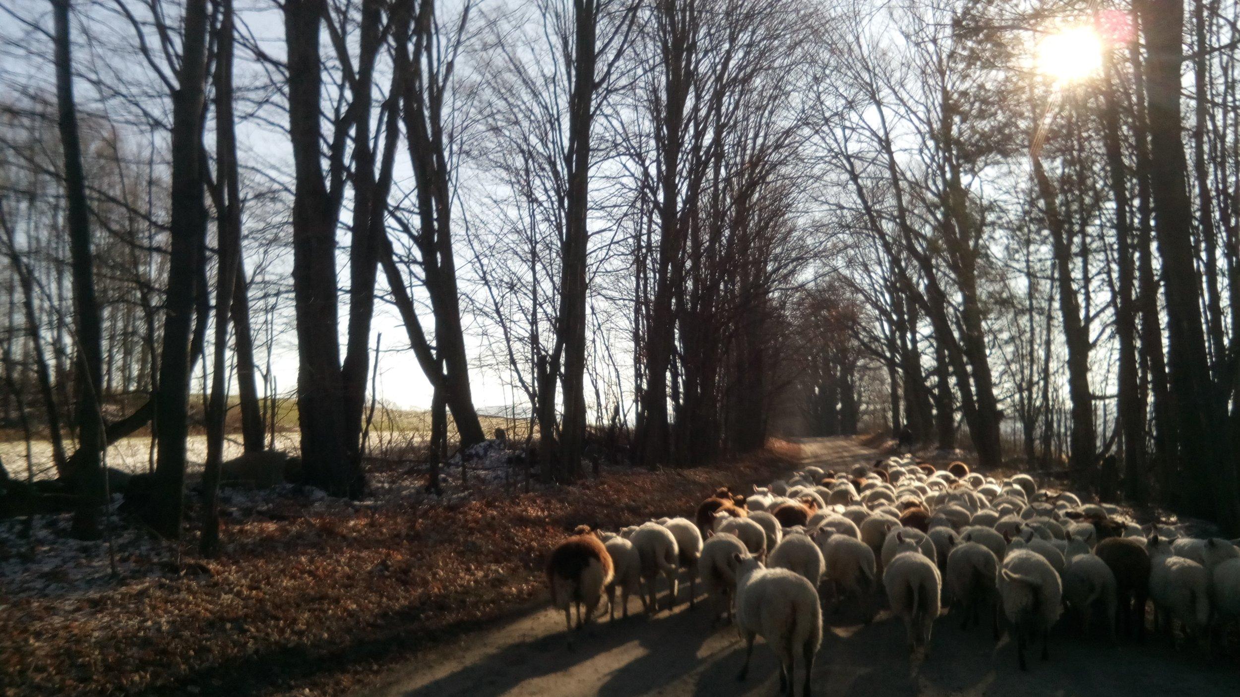 sheep home.jpg