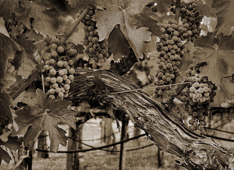 grapes-tighter.jpg