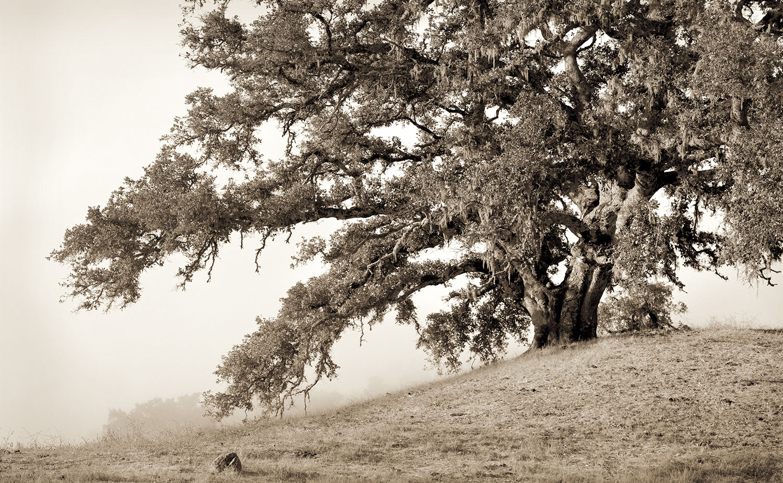 napa-tree-crop.jpg
