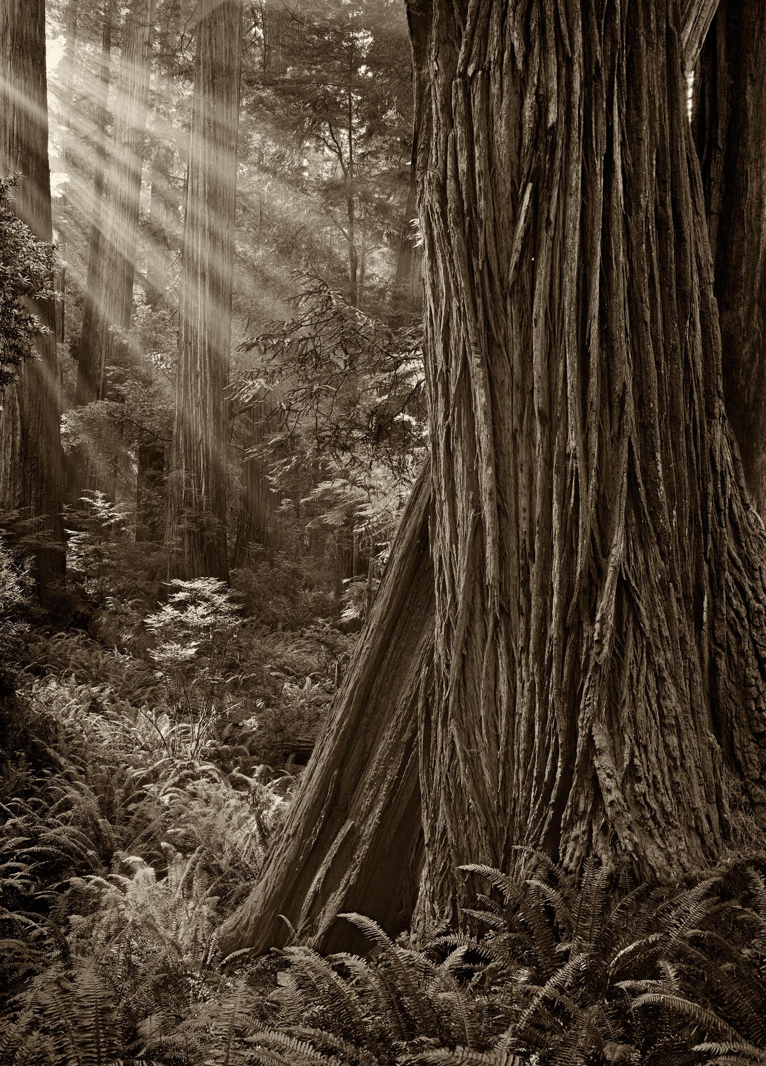 Morning-In-A-Redwood-Grove.jpg
