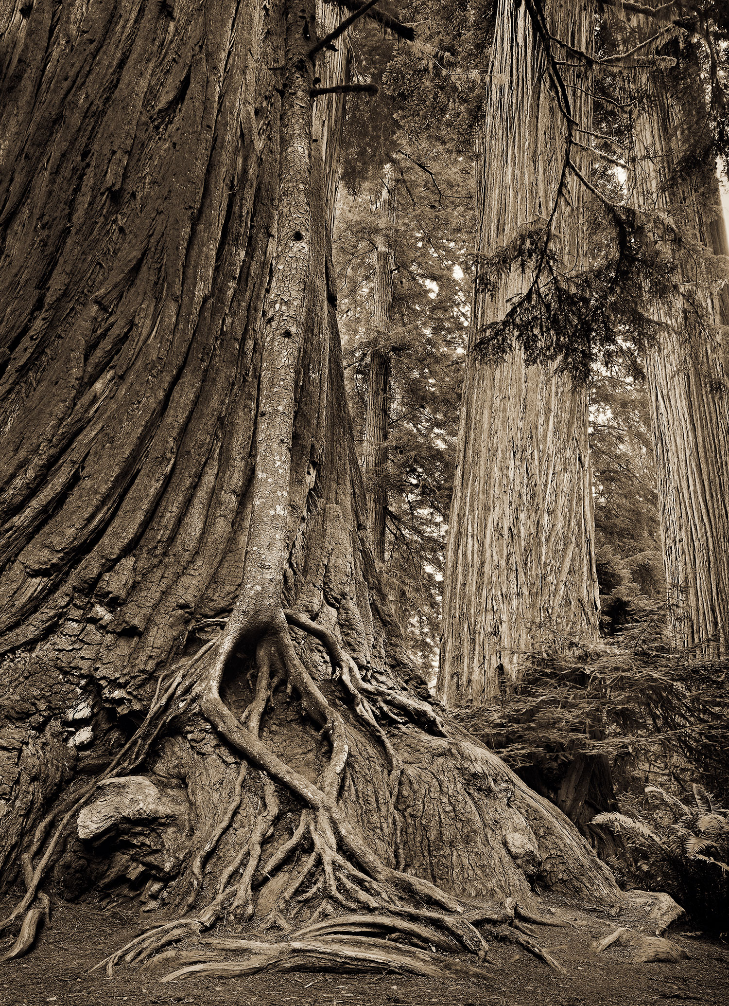 redwood-roots4.jpg