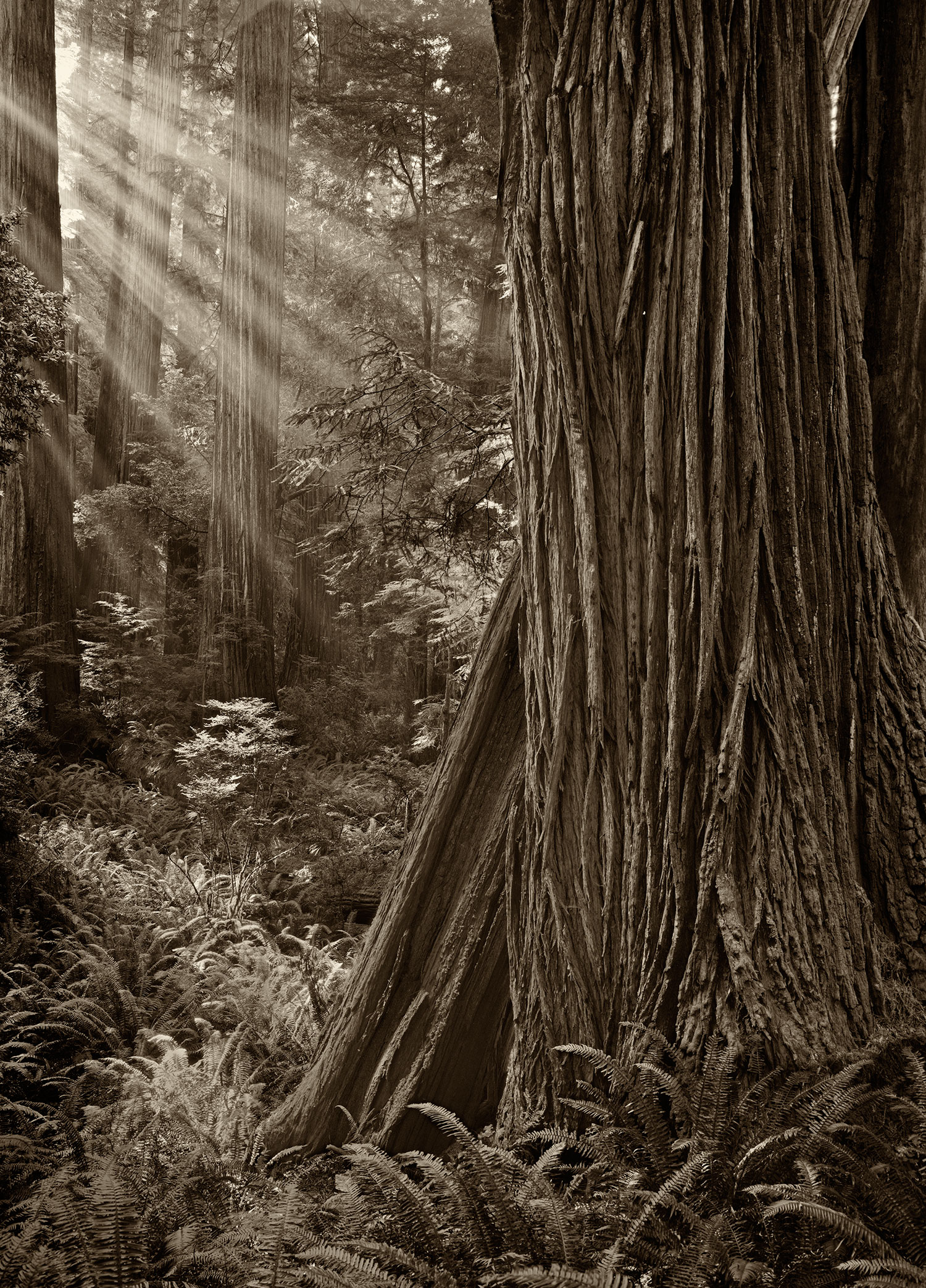 Morning In A Redwood Grove